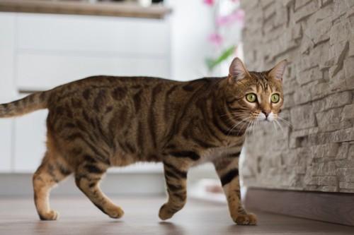 歩くヒョウ柄の猫