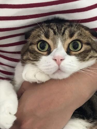 抱っこされるまんまるな猫