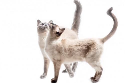 2匹の尾曲がり猫