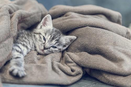 毛布の上で眠そうな子猫