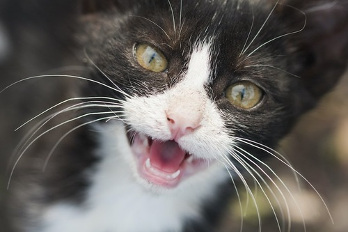 鳴いている猫の顔アップ