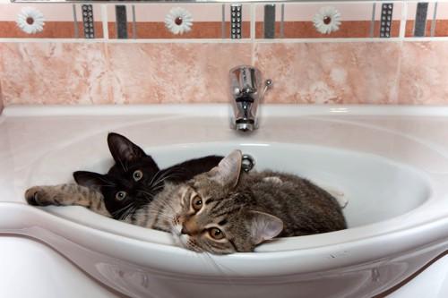 洗面台に入る二匹の猫