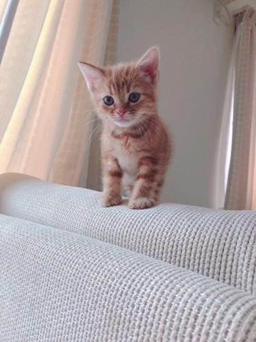 ソファーに立つアメリカンショートヘアの子猫