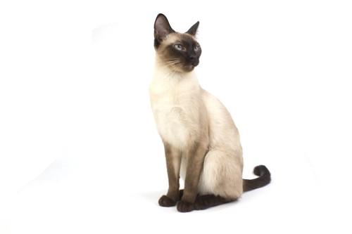 姿勢良くおすわりをしているシャム猫