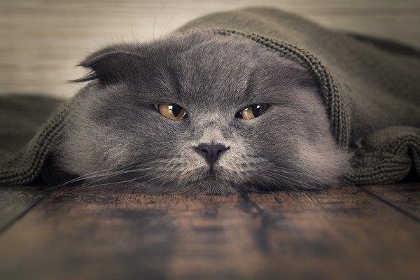 毛布にくるまる灰色の猫