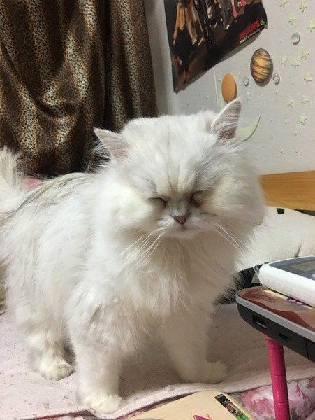 うたたねする白猫