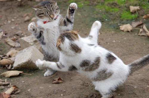 猫にとびかかろうとする猫