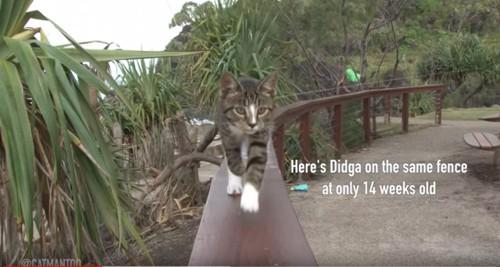 フェンスを歩く子猫