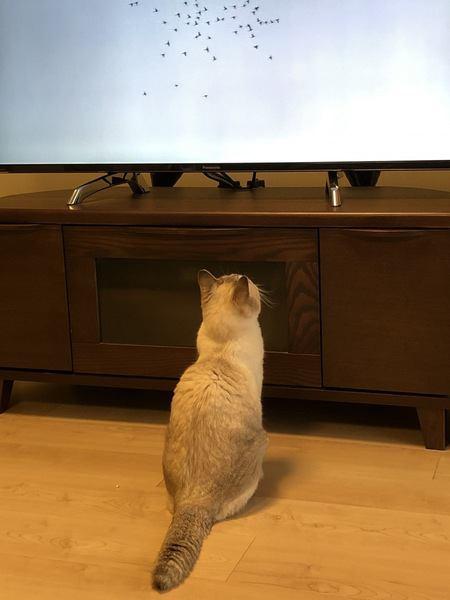 テレビに夢中無猫