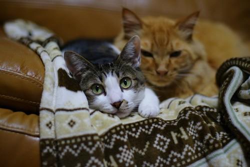 ソファの上の2匹の猫