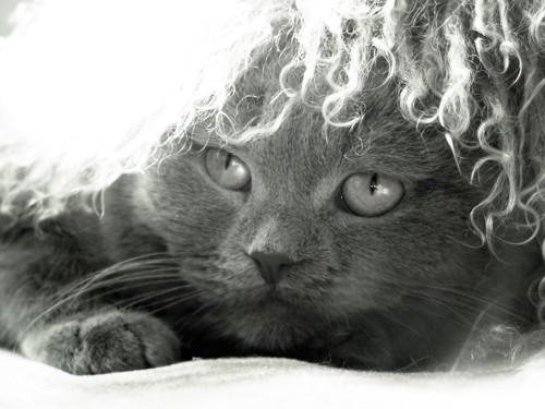 ふわふわのかつらを被るグレーの猫
