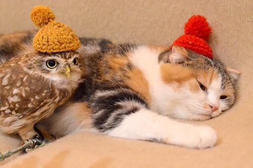 一緒に寝るフクロウと猫