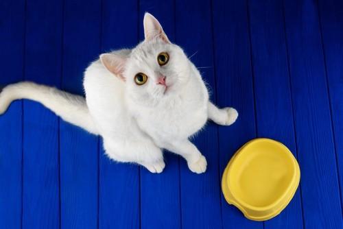 黄色い食器の前に座って見上げる白猫