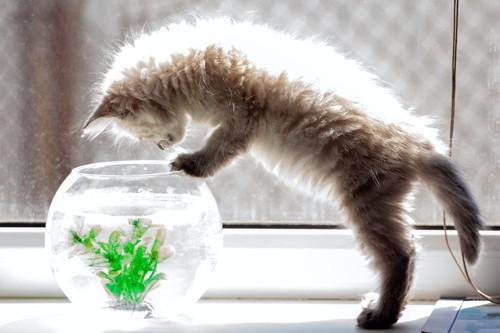 立ち上がって水槽を覗き込む子猫