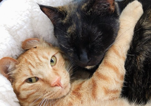 茶トラに抱きつかれるサビ猫