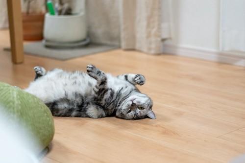 フローリングの上でお腹を出して寝転ぶ猫