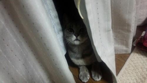 カーテンの隙間から覗いている灰色猫
