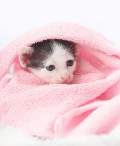 ピンクのタオルに包まれた子猫