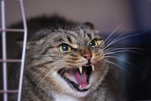 キャリーの中から威嚇する猫