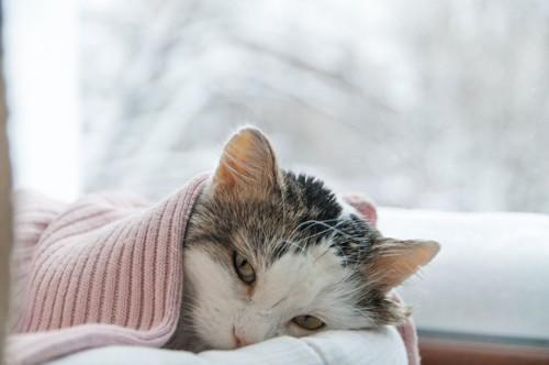 窓辺でニットに包まってまどろむ猫