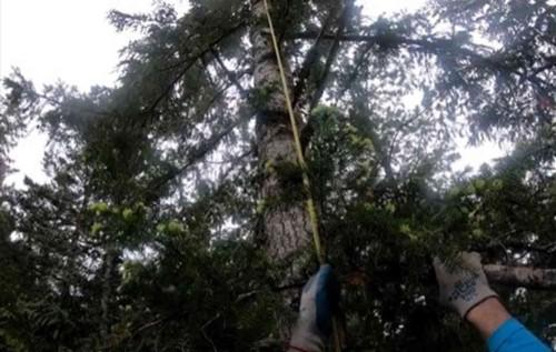 クリケットが立ち往生する木