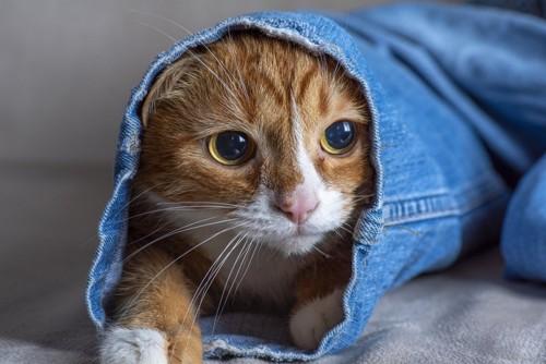 ジーンズに潜む猫