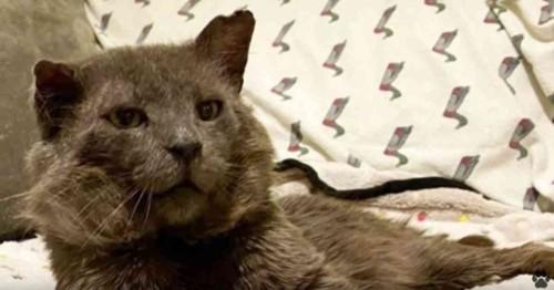 横たわるグレーの猫