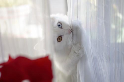 カーテンに戯れながら飼い主を見る猫