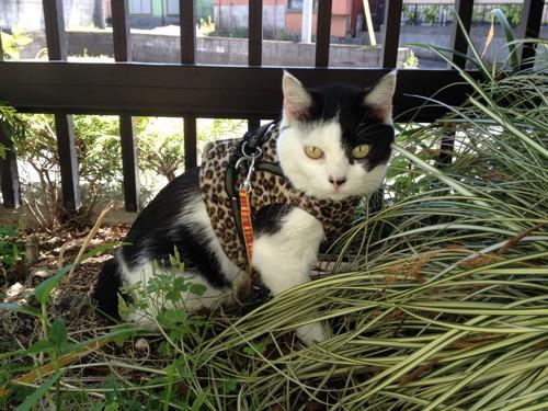 こちらを向いた白黒猫