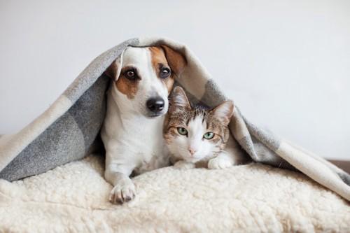 寄り添ってブランケットに包まる犬と猫