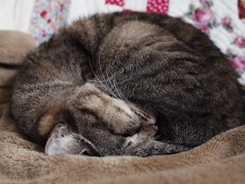 毛布の上で丸くなって寝る猫