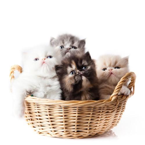 カゴに入った四匹の子猫
