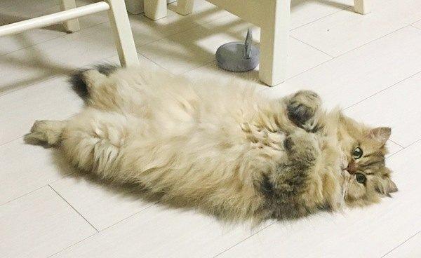 仰向けに寝そべるペルシャ猫