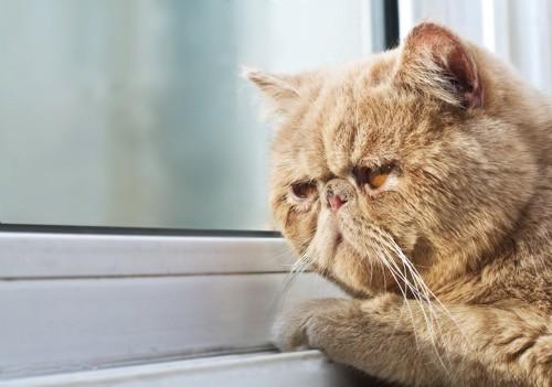 悲しげに窓の外を見つめる猫