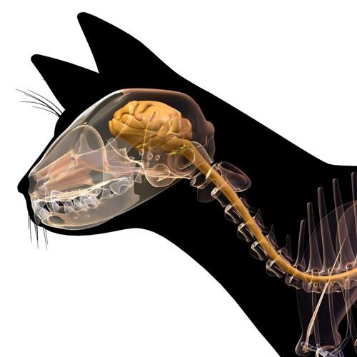 猫の脳や頭蓋骨が見えるイラスト
