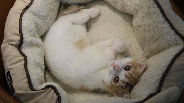 ベッドで寝転がる白と茶色の猫