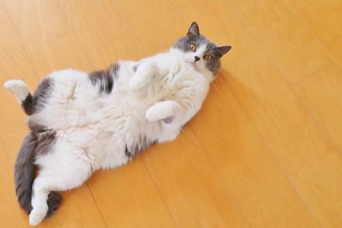 床の上で寝転ぶハチワレ猫