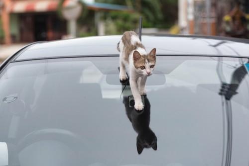 車の上を歩く猫