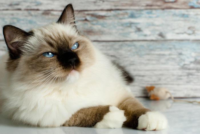 ラグドールとシャムのミックスの猫