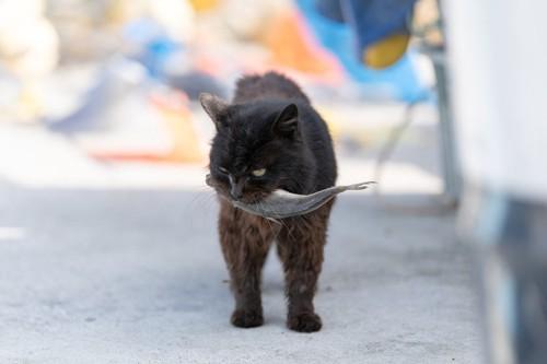魚をくわえている猫
