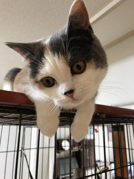 ダイリュートキャリコの子猫