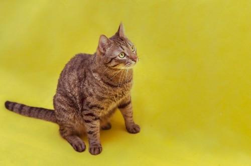 びっくりする座る猫