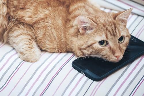 スマートフォンに顎を乗せる茶トラ猫