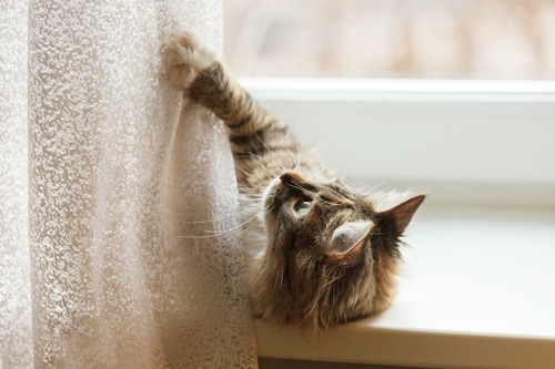 寝転んでカーテンにじゃれる猫