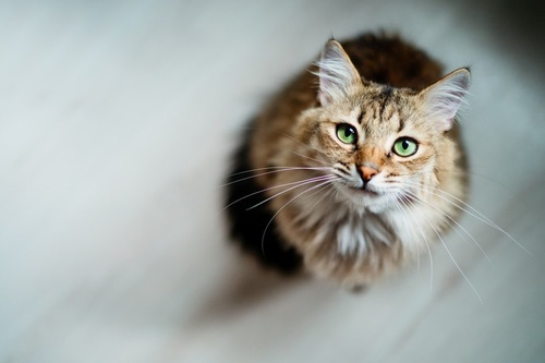 グリーン色の目の猫