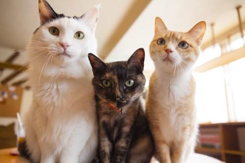 見つめる3匹の猫