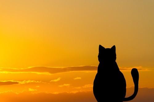 夕日を眺める猫