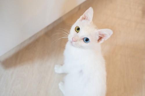 見上げるオッドアイの白猫