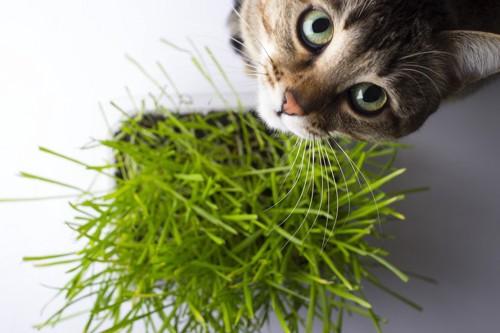 猫草と見上げる猫