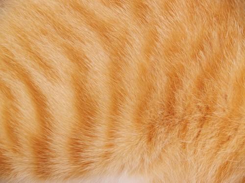 茶トラ柄の猫の毛並みアップ